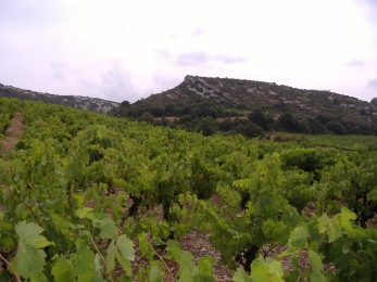 Vigne des Corbières
